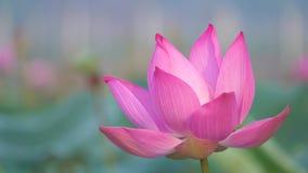 Flor de loto rosada que sopla en viento almacen de video