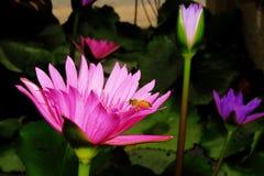 Flor de loto rosada y una abeja Fotos de archivo libres de regalías