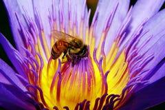 Flor de loto rosada y una abeja Fotografía de archivo