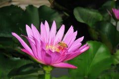 Flor de loto rosada y una abeja Imágenes de archivo libres de regalías