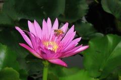 Flor de loto rosada y una abeja Foto de archivo