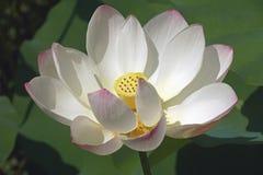Flor de loto sagrado foto de archivo libre de regalías