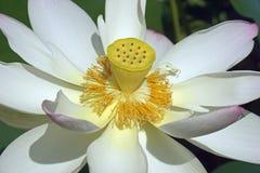 Flor de loto sagrado fotos de archivo
