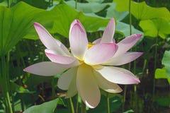 Flor de loto sagrado foto de archivo