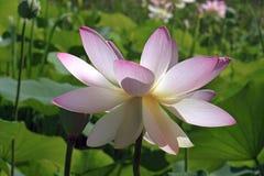 Flor de loto sagrado imágenes de archivo libres de regalías
