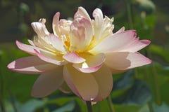 Flor de loto sagrado fotografía de archivo libre de regalías