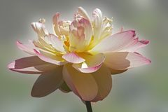 Flor de loto sagrado imagen de archivo libre de regalías