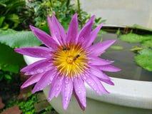 Flor de loto violeta hermosa con la pequeña abeja Imágenes de archivo libres de regalías