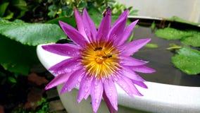 Flor de loto violeta hermosa con la pequeña abeja metrajes
