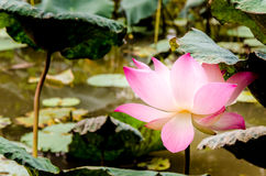 Flor de loto y hoja rosadas del loto Fotografía de archivo