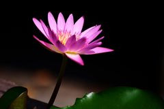 A flor de Lotus é mostrada no fundo obscuro fotografia de stock royalty free
