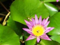 Flor de Lotus Imágenes de archivo libres de regalías