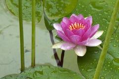 Flor de Lotus foto de stock royalty free