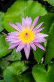 Flor de Lotus Fotos de Stock