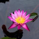 Flor de Lotus Fotos de archivo libres de regalías