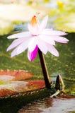 Flor de Lotus fotografia de stock