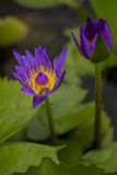 Flor de Lotus Fotos de archivo