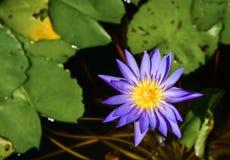 Flor de Lotus Imagem de Stock Royalty Free