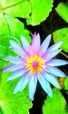 Flor de Lotus Fotografia de Stock Royalty Free
