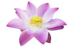 Flor de Lotus aislada Imágenes de archivo libres de regalías