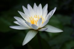 Flor de Lotus blanco hermosa en la charca fotos de archivo