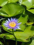 Flor de Lotus blumming en la charca Imágenes de archivo libres de regalías