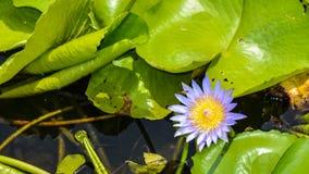 Flor de Lotus blumming en la charca Foto de archivo libre de regalías