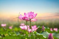 Flor de Lotus con el parque eólico en puesta del sol Foto de archivo