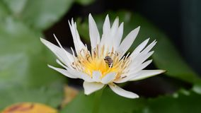 Flor de Lotus con la abeja almacen de video