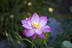 Flor de Lotus con la abeja Imagen de archivo