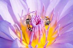 Flor de Lotus con la abeja Fotos de archivo libres de regalías