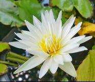 Flor de Lotus con la abeja dentro Foto de archivo libre de regalías
