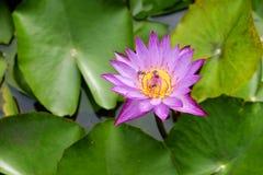 Flor de Lotus con las abejas Fotos de archivo libres de regalías