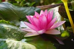 A flor de Lotus cor-de-rosa está florescendo no jardim Imagens de Stock Royalty Free