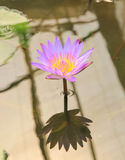 Flor de Lotus e de flor de Lotus plantas Imagens de Stock