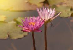 Flor de Lotus e de flor de Lotus plantas Fotos de Stock Royalty Free