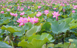 Flor de Lotus e de flor de Lotus plantas Imagens de Stock Royalty Free