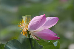 Flor de Lotus e semente dos lótus foto de stock royalty free