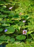 Flor de Lotus en diversa forma Imágenes de archivo libres de regalías