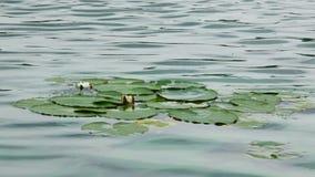 Flor de Lotus en el agua almacen de metraje de vídeo