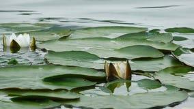 Flor de Lotus en el agua almacen de video