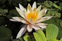 Flor de Lotus en el parque Imagen de archivo libre de regalías