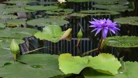 Flor de Lotus en jardín almacen de video