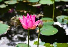 Flor de Lotus en la charca foto de archivo libre de regalías