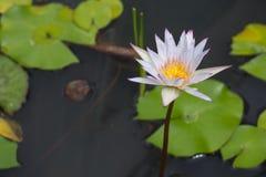 Flor de Lotus en la charca imágenes de archivo libres de regalías