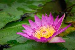 Flor de Lotus en la charca con la gota de agua Imagenes de archivo