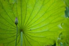 Flor de Lotus en la charca en el d?a soleado foto de archivo