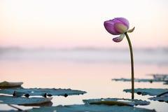 Flor de Lotus en la puesta del sol Fotos de archivo