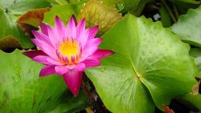 Flor de Lotus en potes imagen de archivo libre de regalías