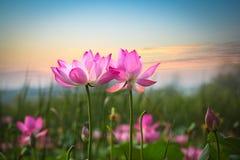 Flor de Lotus en puesta del sol fotografía de archivo